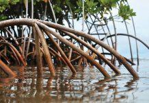 Rdeča mangrova
