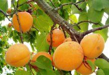 Marelice - sadež za zdravje