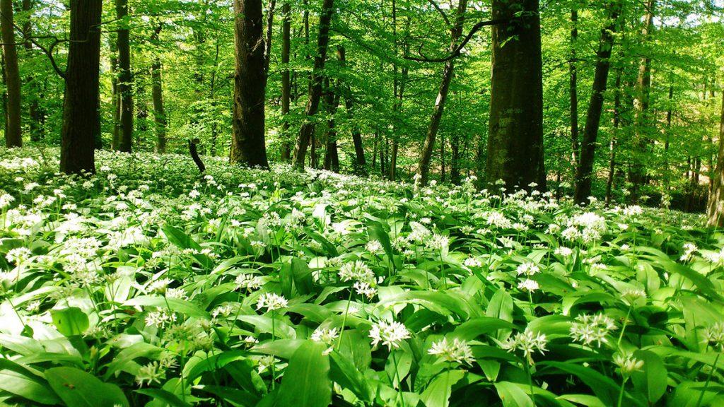 Čemaž v gozdu